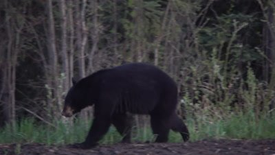 4K Black Bear eating grass along edge of forest near mud hole - SLOG2