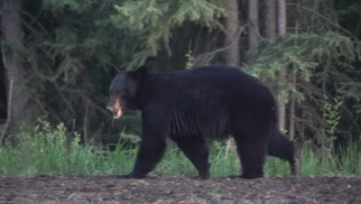 4K Black Bear eating grass along edge of forest walking away from camera Exits frame - SLOG2