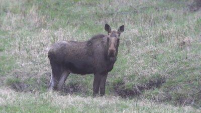 4K Moose staring at camera in grassy meadow - SLOG2