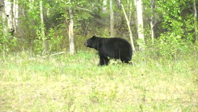 4K Black Bear eating grass along edge of forest walking away from camera - SLOG2