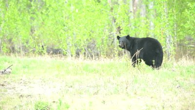 4K Black Bear pan as walking through low grass, stops turns to camera before existing frame - SLOG2