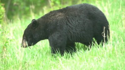 4K Black Bear eating grass, turns and exits  - SLOG2
