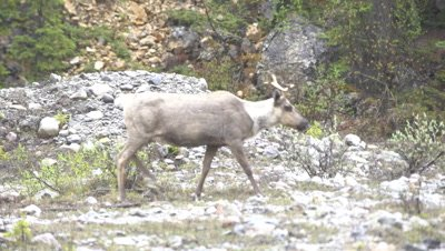 4K Four Caribou walking through valley bottom, follow/pan - SLOG2