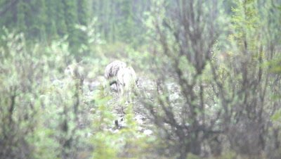 4K Four Caribou walking through valley bottom, Rack Focus, follow/pan - SLOG2