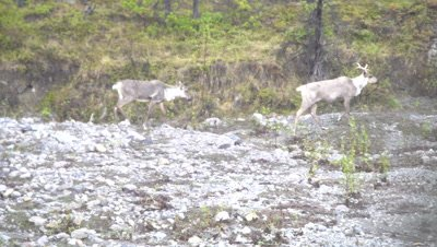 4K Four Caribou walking through valley bottom, Between trees, pull Focus, follow/pan, Zoom out - SLOG2