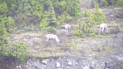4K four Caribou grazing on ridge in rain/snow, long lens - NOT Colour Corrected