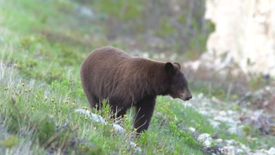4K Brown Bear grazing on grass along hill side towards camera - No Colour Correction