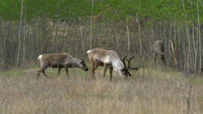 4K Male Caribou walks through frame grazing on grass two females behind near dense forest - NO Colour Correction