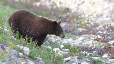 4K Brown Bear grazing on grass along hill side towards camera - SLOG2