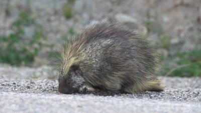 4K Porcupine eats in gravel area - SLOG2