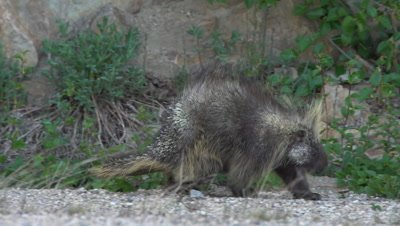 4K Porcupine eats in gravel area back turned at first quills out - SLOG2