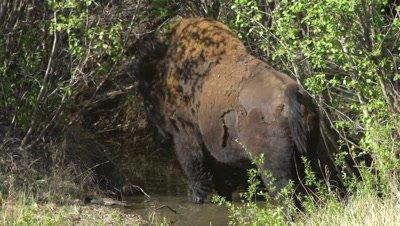 4K Wood Bison edge of bush drinking water from stream, tighter shot - SLOG2