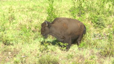 4K Wood Bison two in bush, one lays down for dust bath - SLOG2