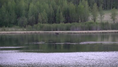 4K Moose in lake eating under water ducks swim around Ultra Wide Shot  - SLOG2