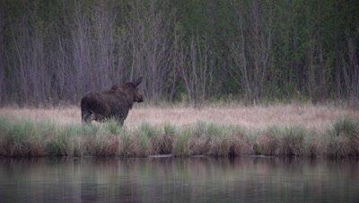 4K Moose along side lake through grass exits frame  - SLOG2