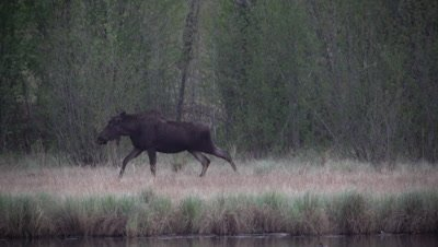4K Moose along side lake eating grass walks through trees, watches, shakes of water  - SLOG2