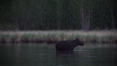 4K Moose in lake eating under water ducks swim around, Shakes water off  - SLOG2