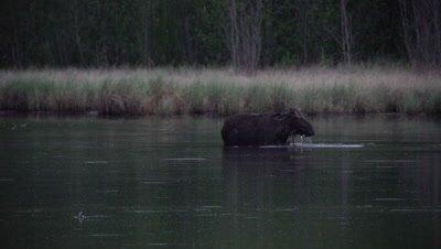 4K Moose in lake eating under water ducks swim around - SLOG2