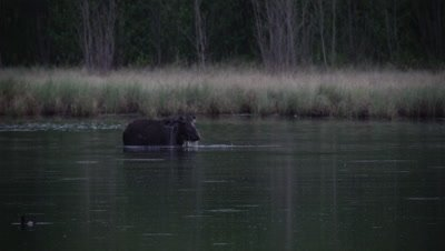 4K Moose in lake eating under water ducks swim around Shakes water off  - SLOG2
