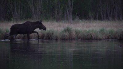 4K moose in lake eating under water walks along lake edge Shakes water off  - SLOG2