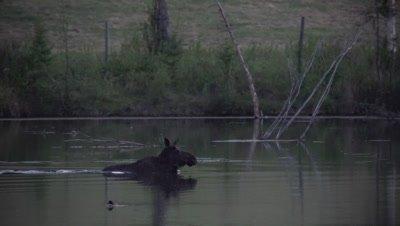 4K Moose swims across lake at night, Ducks swim behind - SLOG2