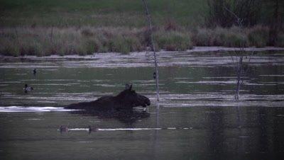 4K Moose swims across lake at night, Ducks swim behind, Exits frame - SLOG2