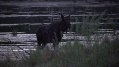 4K moose swims across lake at night, Walks out of lake, Exits frame - SLOG2