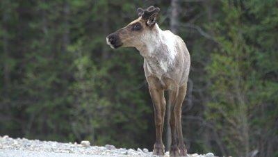 4K Caribou stares at camera, runs off, exits frame, tight shot - SLOG2