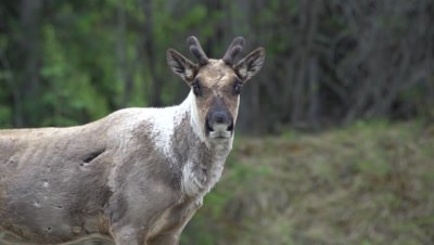 4K Caribou stares at camera, runs off, exits frame, Focus pull, Exits Frame - SLOG2