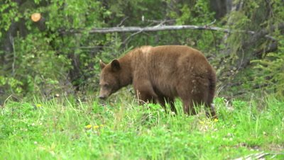 4K Brown Bear grazing on grass, turns towards camera - SLOG2