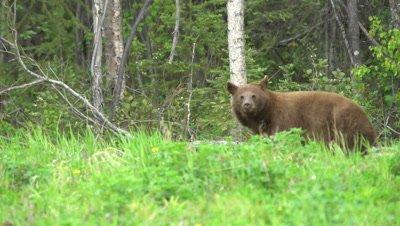 4K Brown Bear grazing on grass, looking at camera - SLOG2