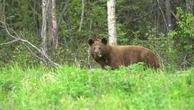 4K Brown Bear grazing, mouth full of grass, looking at camera - SLOG2