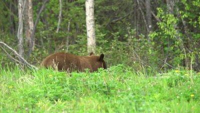 4K Brown Bear grazing on grass - SLOG2