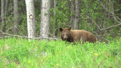 4K Brown Bear grazing on grass, looks up at camera - SLOG2
