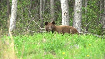 4K Brown Bear grazing on grass, looks up at camera, Teddy Bear face - SLOG2