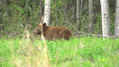 4K Brown Bear grazing on grass, nose in air sniffs  - SLOG2