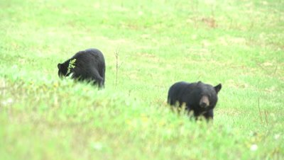 4K Black Bear, two eating grass in meadow, pan to two shot - SLOG2