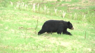 4K Black Bear, two eating grass in meadow, pan/rack focus as one walks away - SLOG2