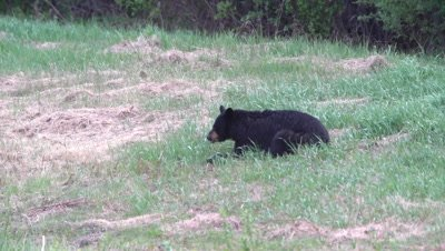 4K Black Bear, eating grass in meadow, pan/rack focus to second one lying in grass chewing - SLOG2