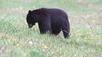 4K Black Bear, eating grass in meadow, tight shot - SLOG2