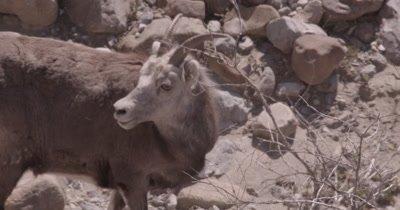 4K Thin Horn Sheep forging thru rocks in ravine, Slow Motion - SLOG2
