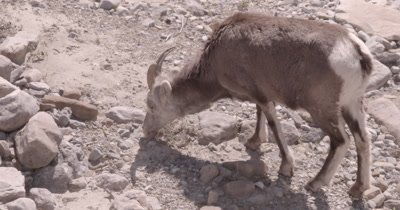 4K Thin Horn Sheep forging thru rocks in ravine, Zoom in, Zoom out, Slow Motion - SLOG2
