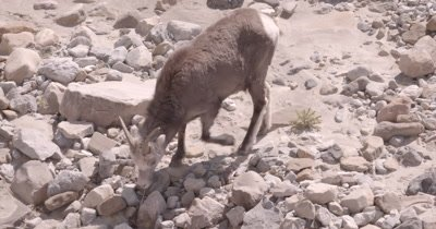 4K Thin Horn Sheep forging thru rocks in ravine, Zoom in, Slow Motion - SLOG2