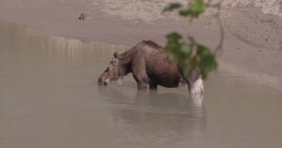 4K Moose drinking water from river, Zoom in - SLOG2 NO Colour Correction