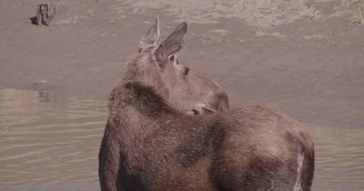 4K Moose standing in river, Zoom in Close Up - SLOG2 NO Colour Correction