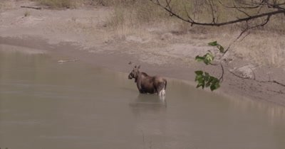4K Moose standing in river Wide shot - SLOG2 NO Colour Correction