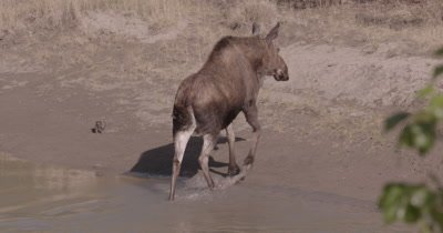 4K moose standing in river Chewing, walks out to eat willows - SLOG2 NOT Colour Corrected