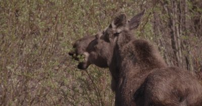 4K moose standing on river bank eating willows, tight shot - SLOG2 NO Colour Correction