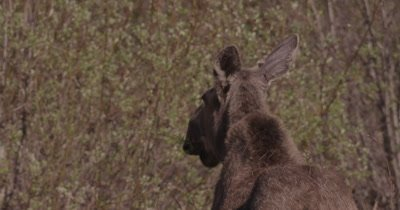 4K Moose eating willows from back, tight shot, Slow Motion - SLOG2 NO Colour Correction