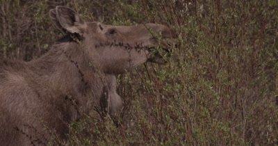 4K Moose eating willows Close Up, Slow Motion - SLOG2 NO Colour Correction
